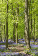 Ashridge Bluebells, Dockey Wood No 8