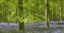 Ashridge Bluebells, Dockey Wood No 10