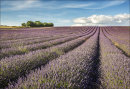 Hitchin Lavender Field No 2