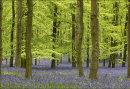 Bluebells Dockey Wood No 1