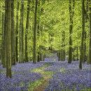 Bluebells, Dockey Wood No 2