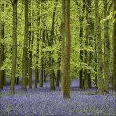 Bluebells, Dockey Wood No 3