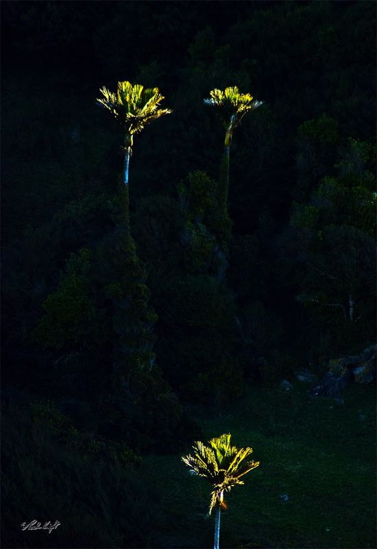 Nikau palms in last sun at Te Hapu