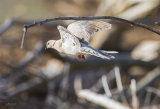 Barbary Dove 3580