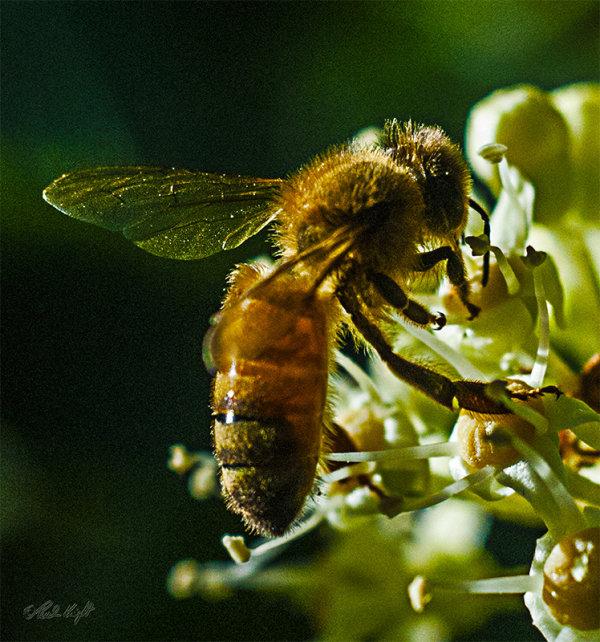 Bee on Aralia 2756