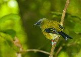 Bellbird/Korimako 2495