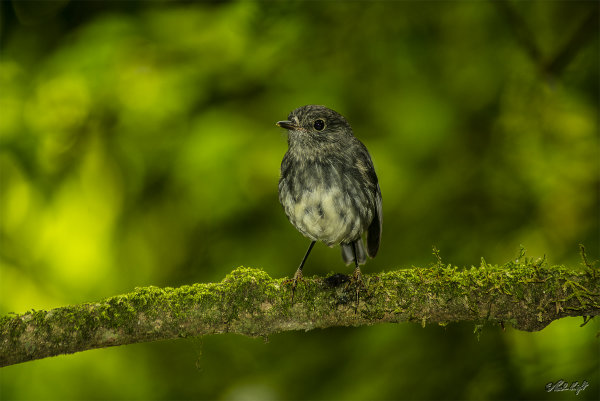 North Island Robin at Bushy Park