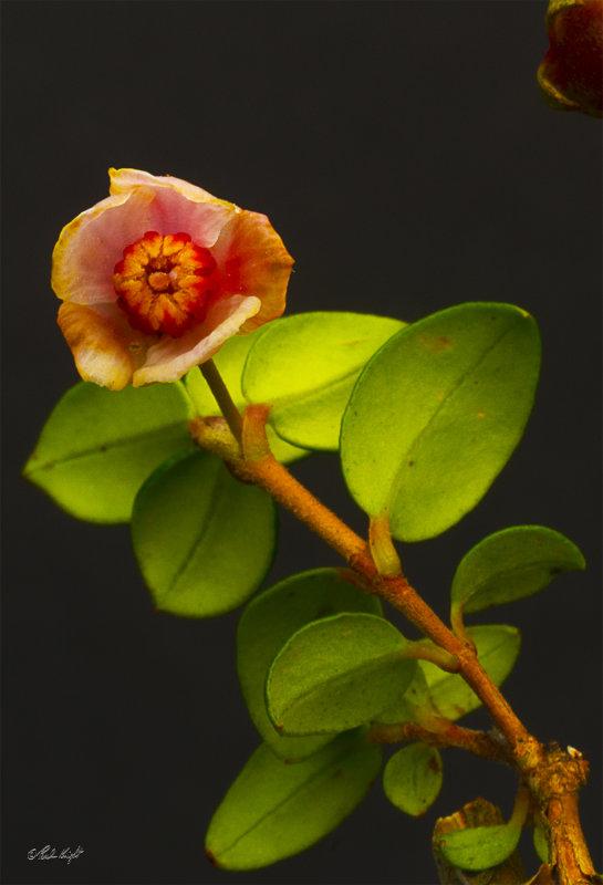 Cranberry flower 0568