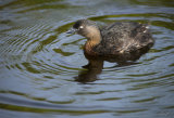 Dabchick 2577 at Waikawa Lake