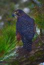 New Zealand Falcon 2614