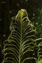 New fern 1699
