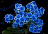 Forget-me-not 1231-1