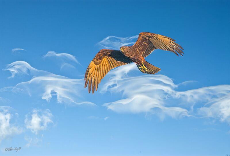Harrier Hawk from Burn Street, Levin