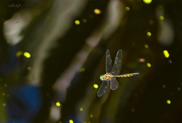 Dragonfly 2708 at Huritini Lake