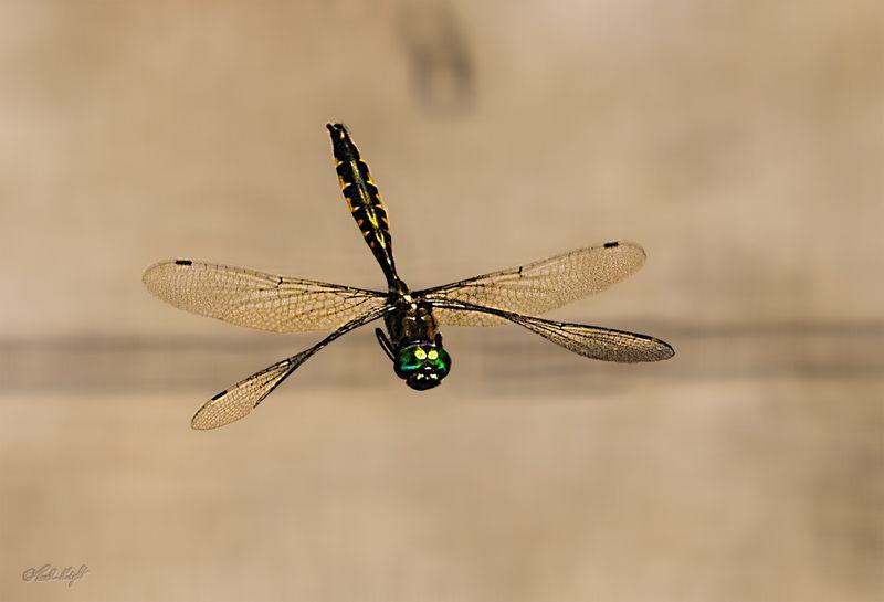Dragonfly 2692 at Huritini Lake