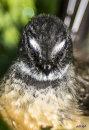 Kimberley Reserve Fantail/Piwakawaka 0282