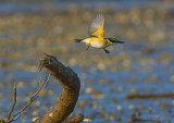 Kotare/Kingfisher 0023