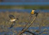 Kotare/Kingfisher 0053
