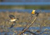 Kotare/Kingfishers 0053