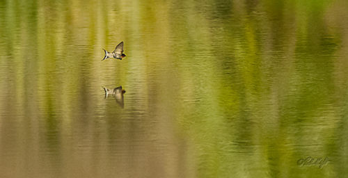 Lagoon swallow reflected 0052
