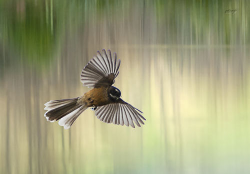 Lagoon fantail 0072 cropped