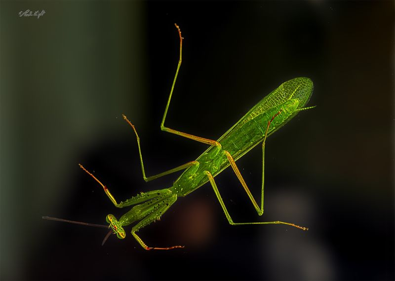 Preying Mantis 0002