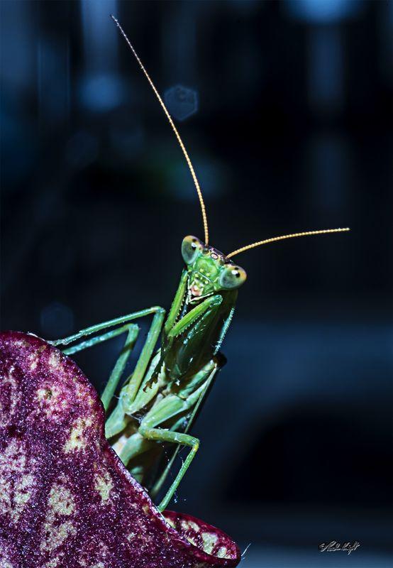Preying Mantis 1863