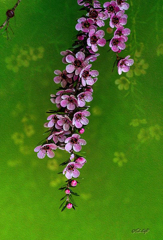 Manuka flowers 1405-1