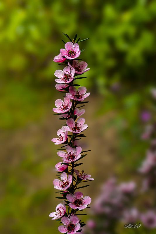 Manuka flowers 1414-1