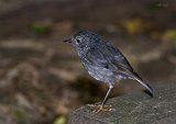 North Island Robin 2479