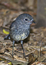 North Island Robin 2480