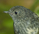 North Island Robin 2484