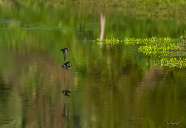 Swallows over Chrystall's Lagoon 0112-1