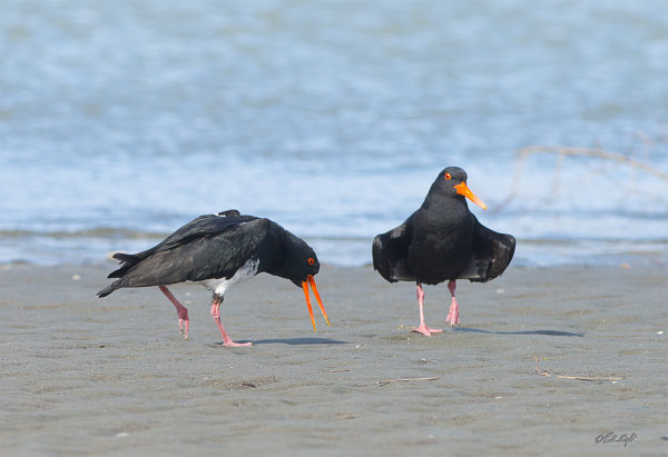 Oyster Catchers_1730