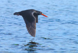 Variable OysterCatcher_1754