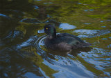 Scaup 2587