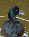 Scaup 2639
