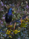 Starling-on-flax 0882