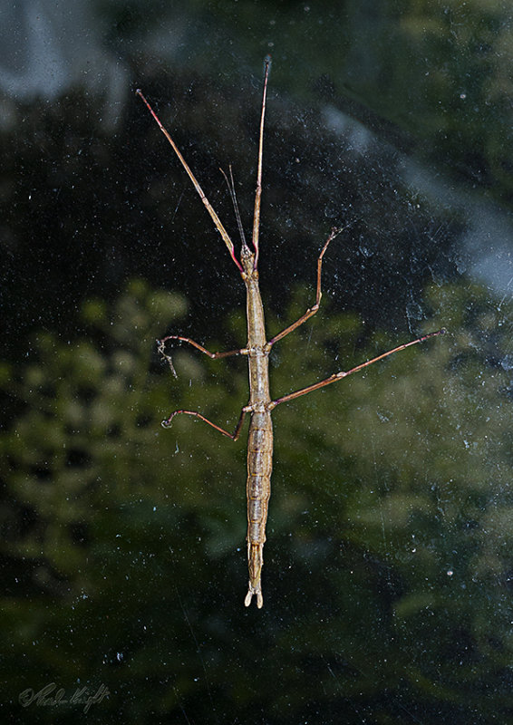 Stick Insect, 0009