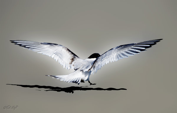 White Fronted tern 1219