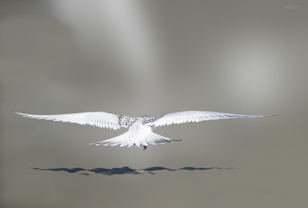 White Fronted tern 1221