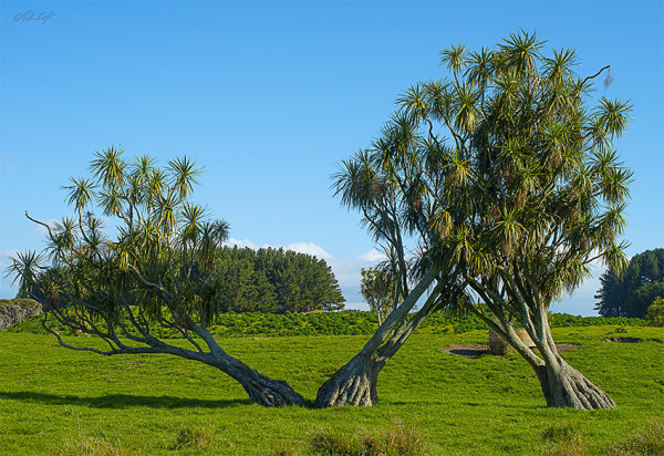Inebriated cabbage trees