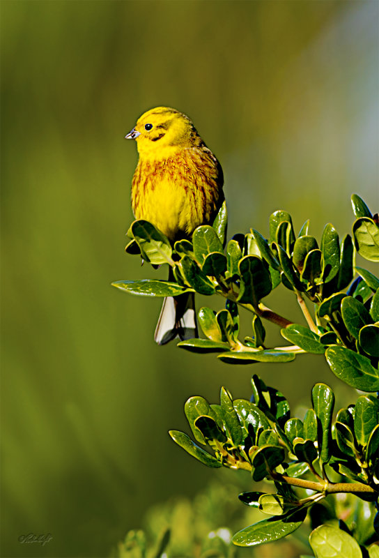 Yellowhammer_1770 at Te Hakari Wetland