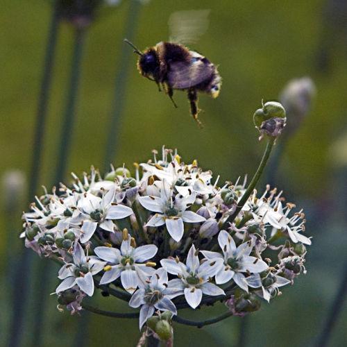 Bumble bee likes garlic chives
