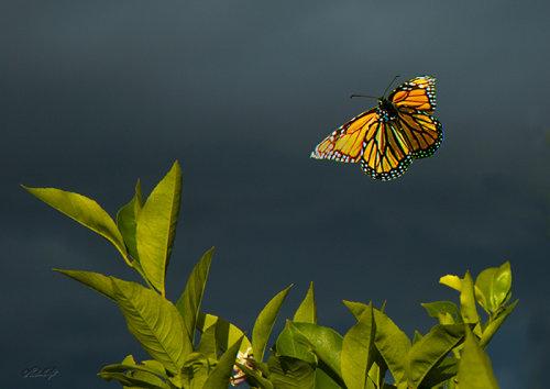 Monarch 1059