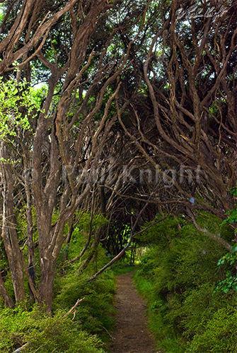 Path through Tea Tree