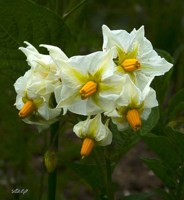 potato-flowers_2406