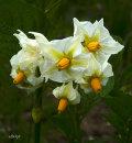 potato-flowers_2406