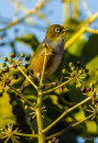 silvereye-on-Aralia_1167-1
