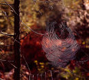 Spider web on Pine tree